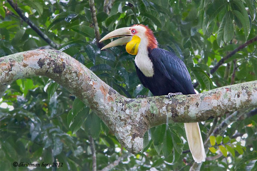 Wreathed Hornbill BTR-The Wreathed Hornbill