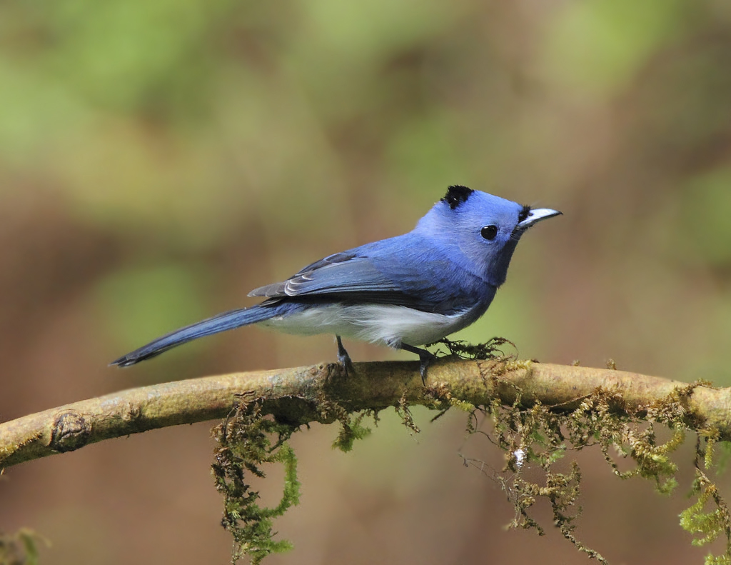 Your trail: > Home > Black Naped Monarch Flycatcher | Hypothymis ...