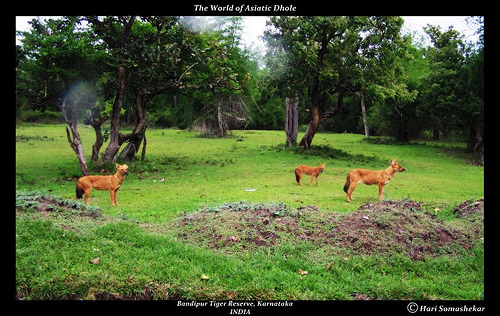 The Indian Dhole- Habitat Shot