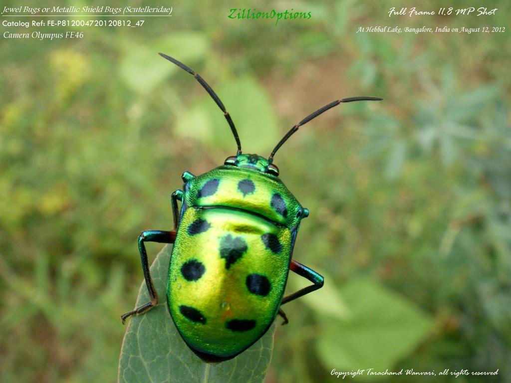 Your trail: > Home > Jewel Bug, Metallic Shield Bug