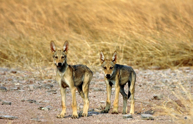 Image result for indian wolf pups