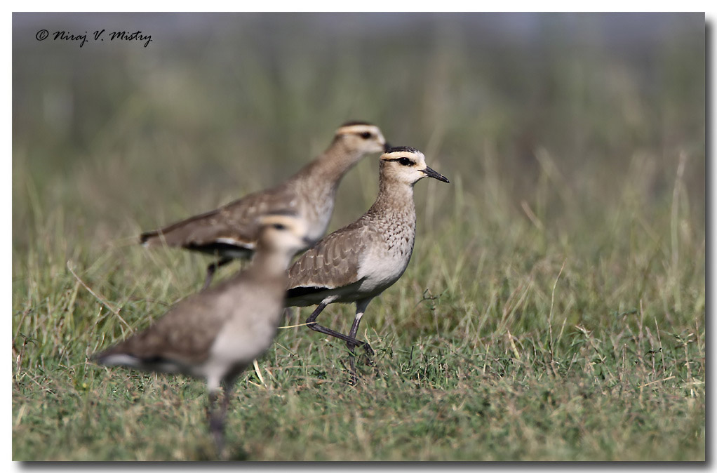 turkish mature hot rusia wiki. Sociable Lapwing From Wikipedia, ...