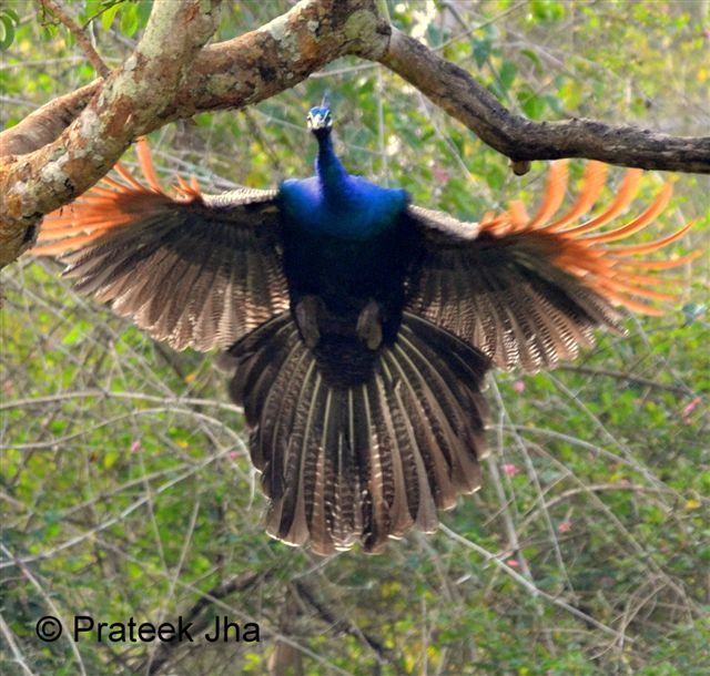 Flying peacock pictures
