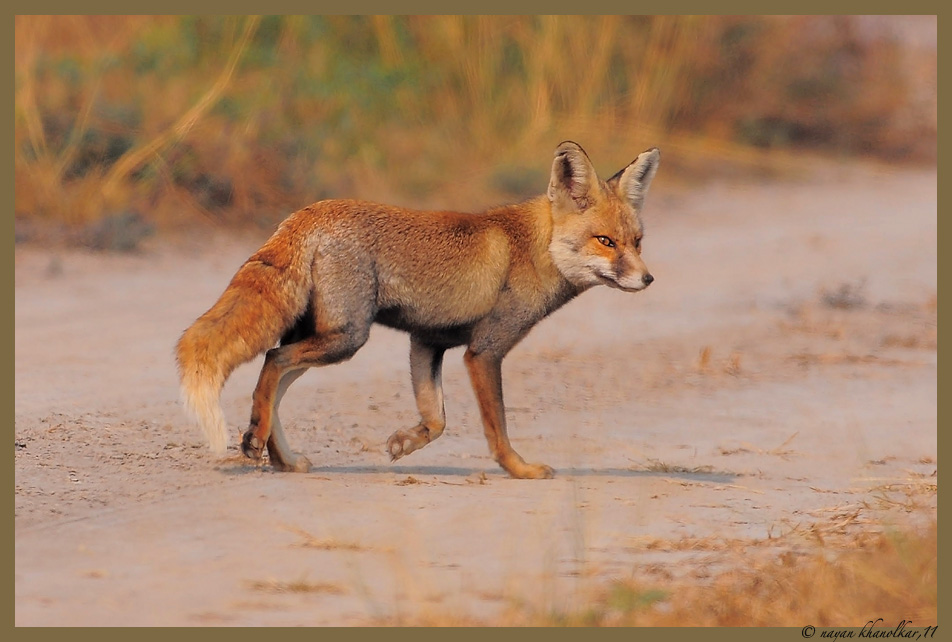 Foxes in the desert - photo#8