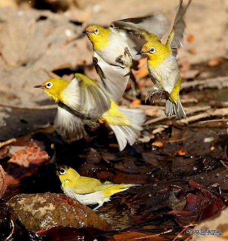 Your trail: > Home > Oriental White Eye group frozen