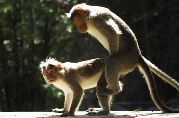 monkeys mating
