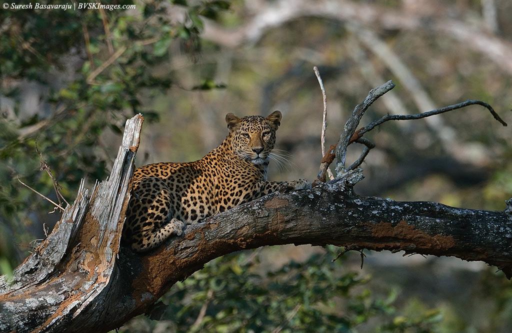 Human-Wildlife Conflict: Human-leopard conflict in India