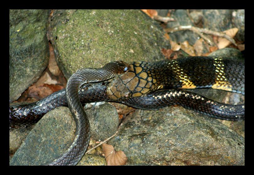 Your trail   gt  Home  gt  King Cobra Eating Rat SnakeKing Cobra Eating Another Snake