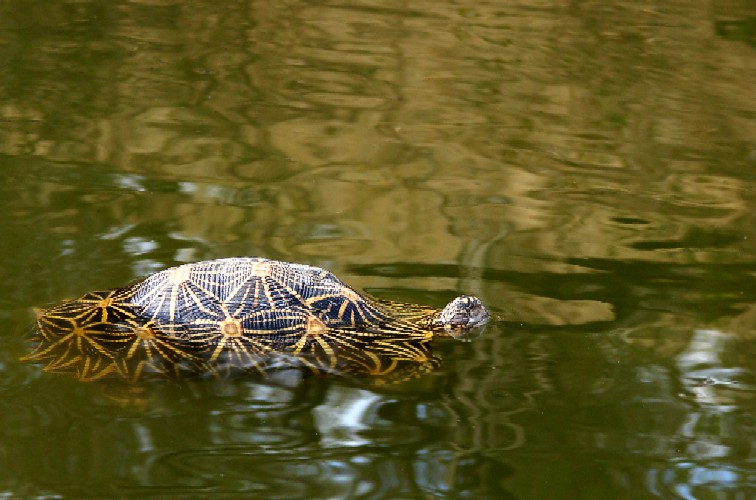Your trail: > Home > star tortoise in the water