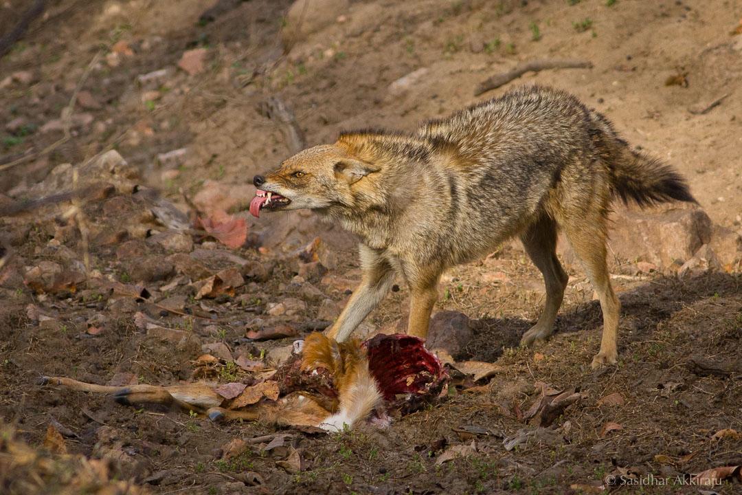 残暴的胡狼,向你吐舌头